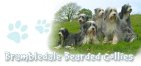 Brambledale-bearded-collie-l'origine